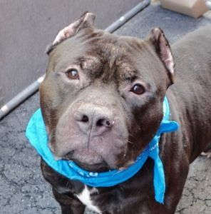 CHACORLTA – A1082090  MALE, BLACK / WHITE, AM PIT BULL TER MIX, 3 yrs OWNER SUR…