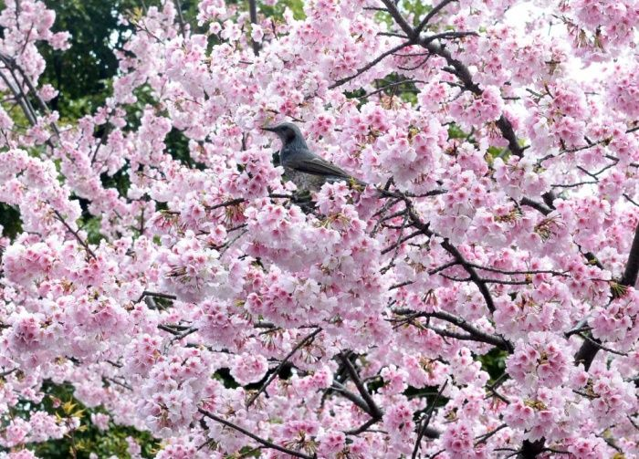 Cherry Blossom Season Begins In Pictures Cherry Blossom Cherry Blossom Season Blossom Trees