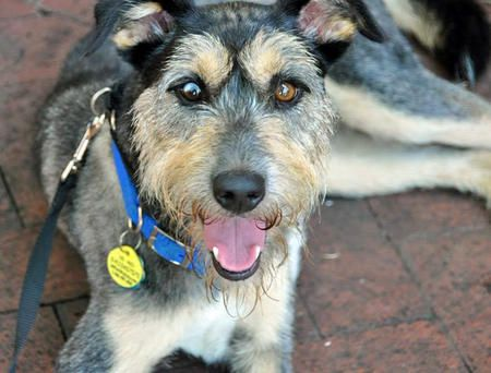 Draper The Schnauzer Mix Dog Breed Airedale Terrier Standard