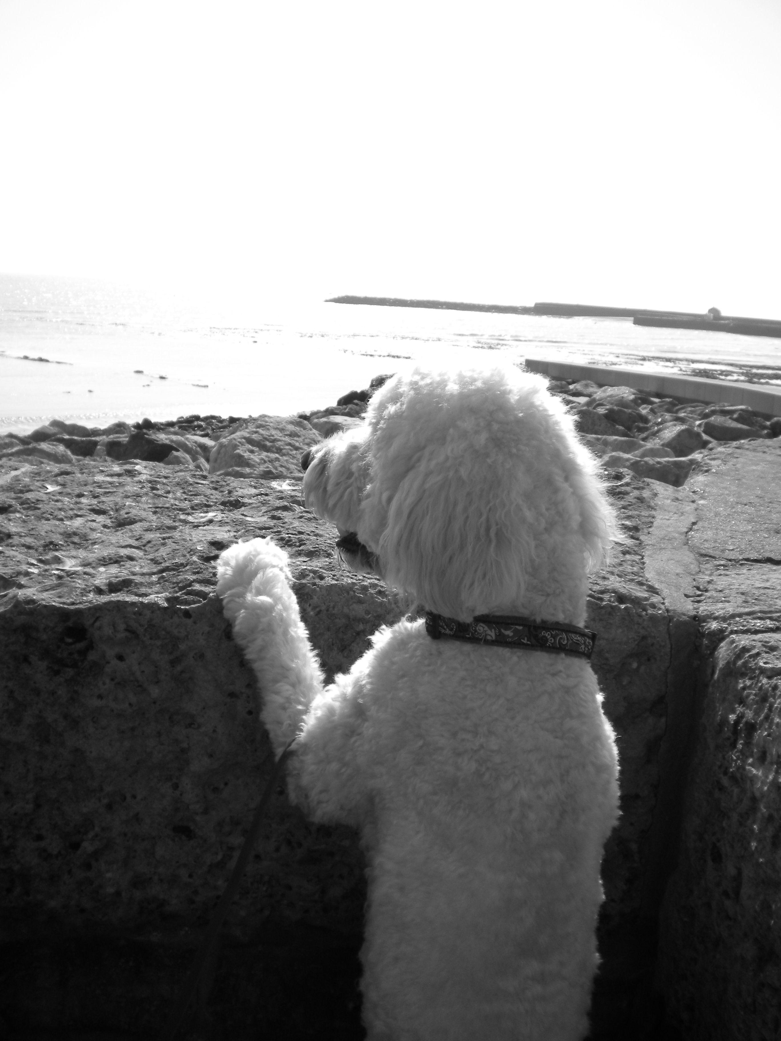 Dorset Mils Labradoodle Goldendoodle Beach Black And White