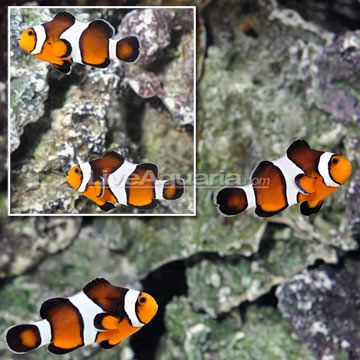 Ora Full Bar Half Caramel Ocellaris Clownfish Select Pair