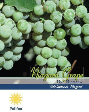 Pirtle Nursery Niagara Grape #2, 1.5 gal.