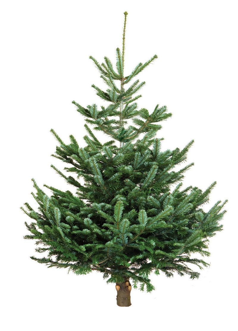 Nordmann Fir | Forest for the Trees | Pinterest | Natural christmas ...