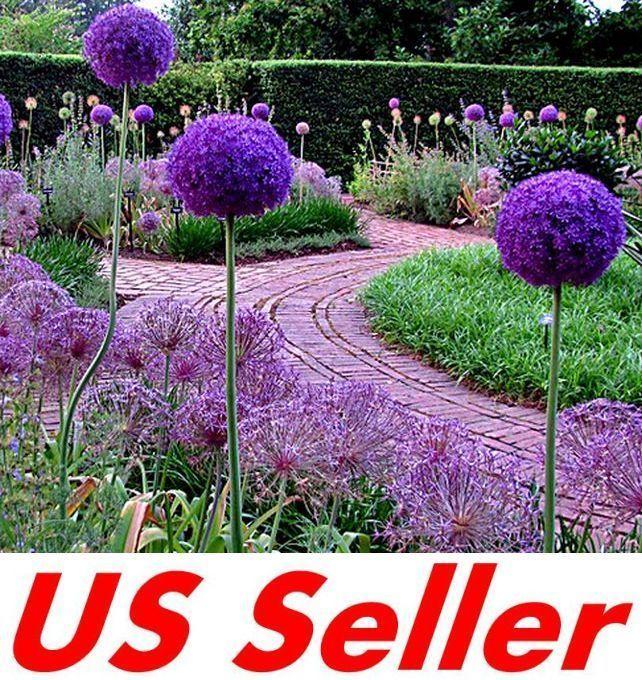 25 Pcs Allium Giganteum Giant Allium Seeds B11 Ornamental Great Colors Beautiful Gardens Plants Tuscan Garden