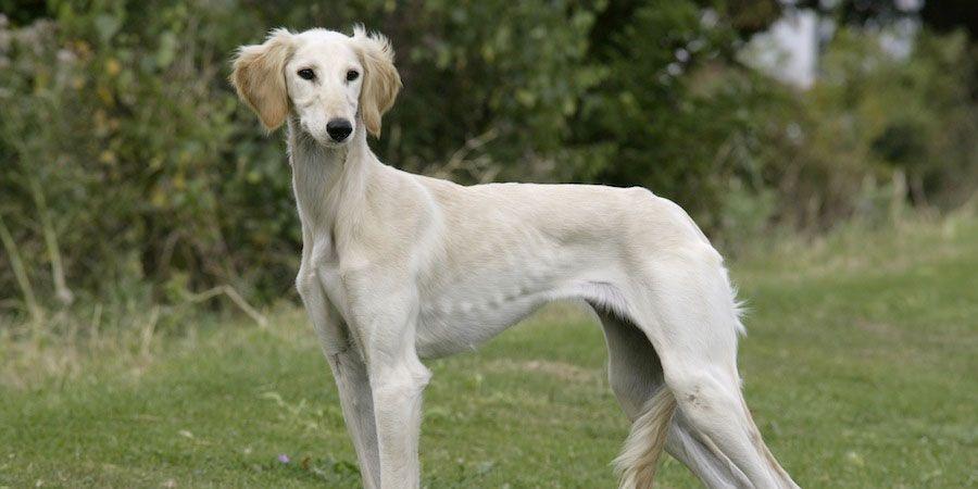 Caravan Hound Price Temperament Life Span Hound Dog Breeds