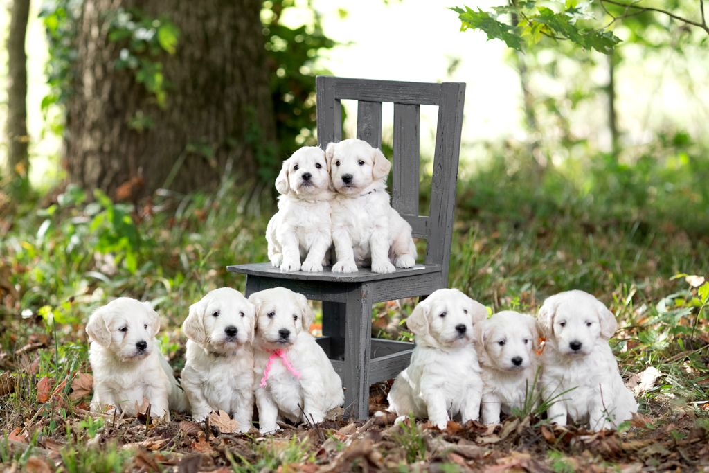 English Cream Mini Golden Doodle Puppies Royal Minidoodles Royal Minidoodles English Goldendoodle Goldendoodle Goldendoodle Puppy