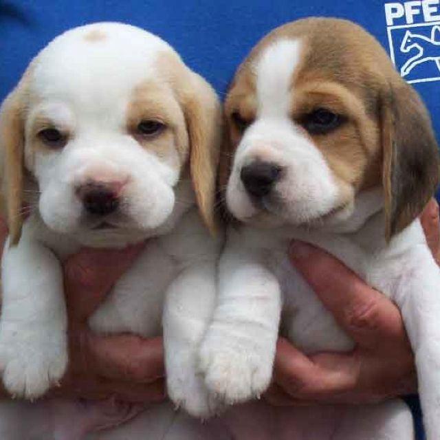 I Want Beagle Puppies Beagle Puppy Beagle Dog Beagle Dog Breed