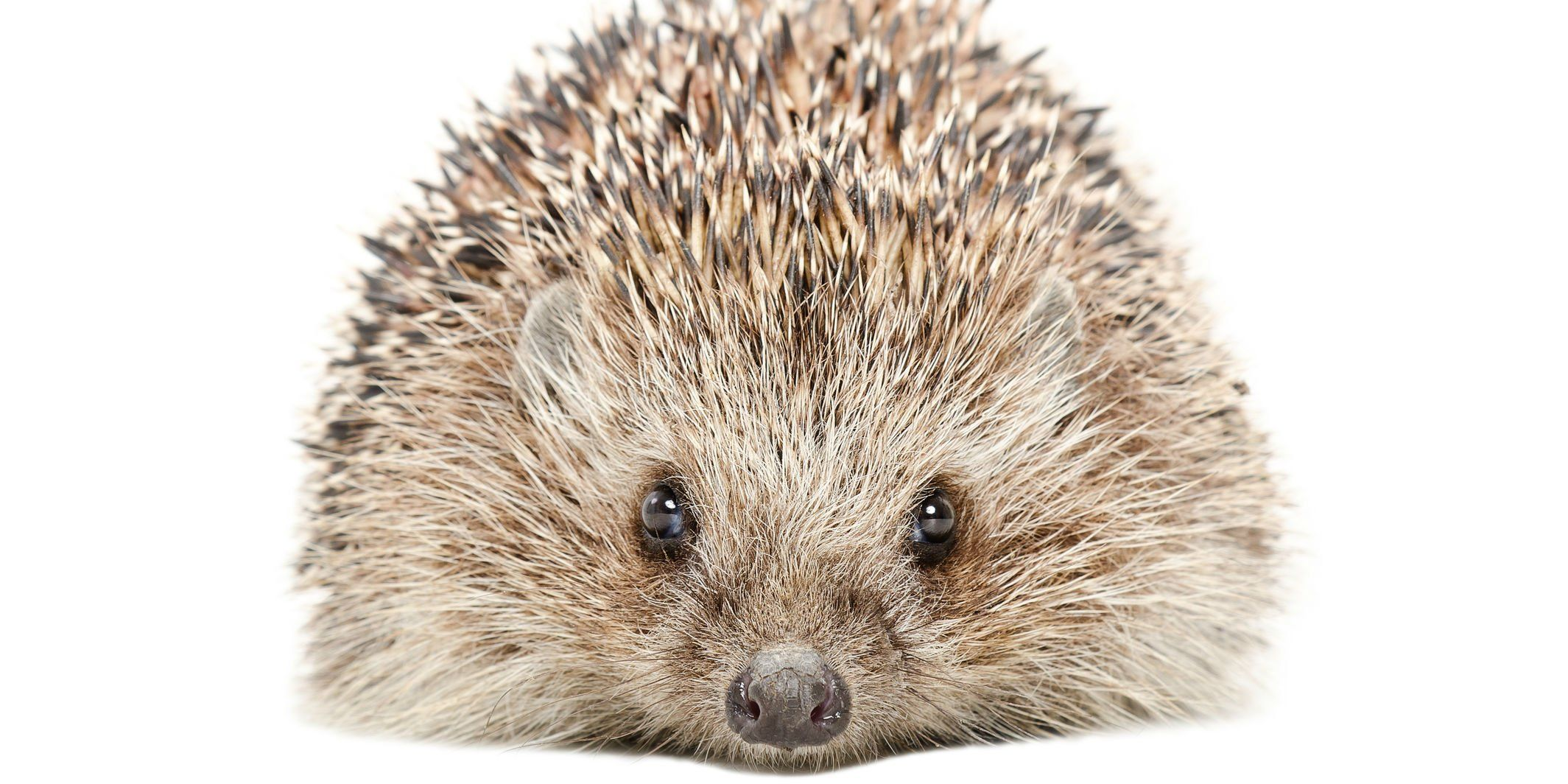American Airlines just banned emotional support hedgehogs