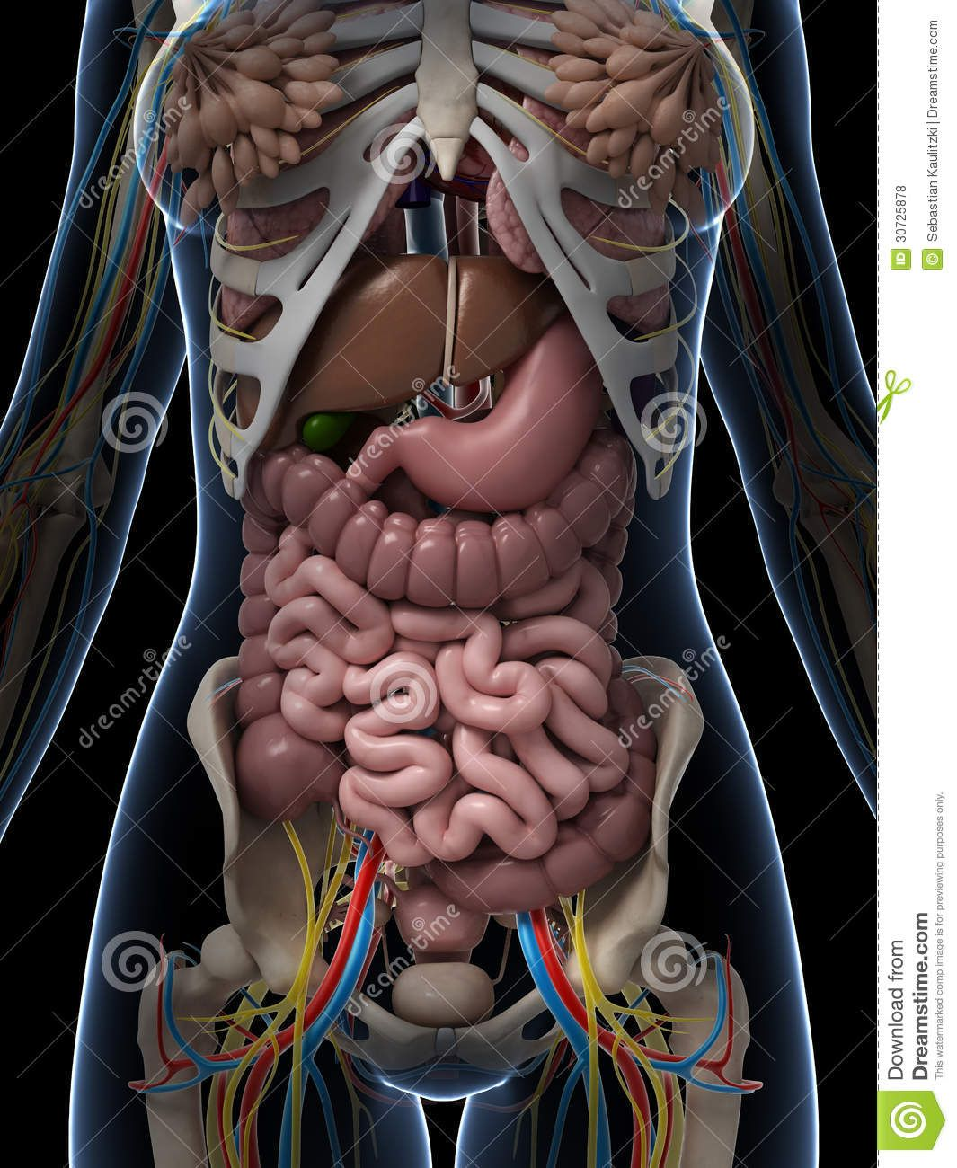 Woman Internal Anatomy Internal Female Anatomy Related Keywords