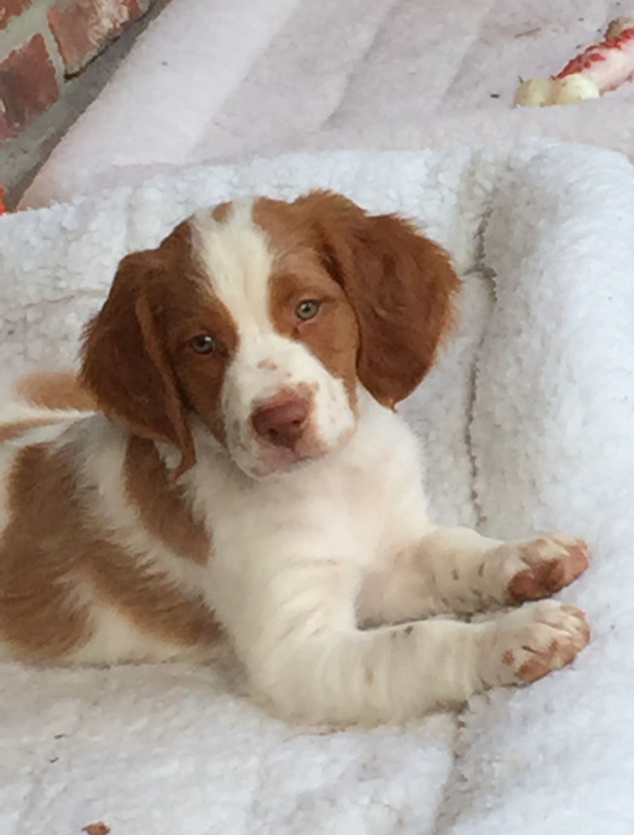 Brittany Spaniel Pup Classic Look Brittany Spaniel Dogs Brittany Dog Brittany Spaniel