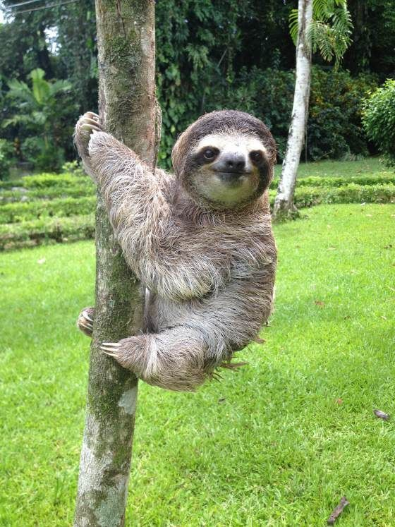tree hugging sloth just hanging out as usual we sloths