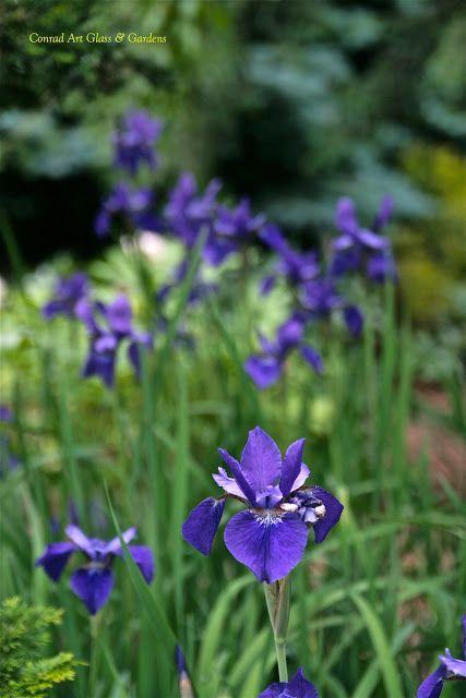 self-sown siberian iris