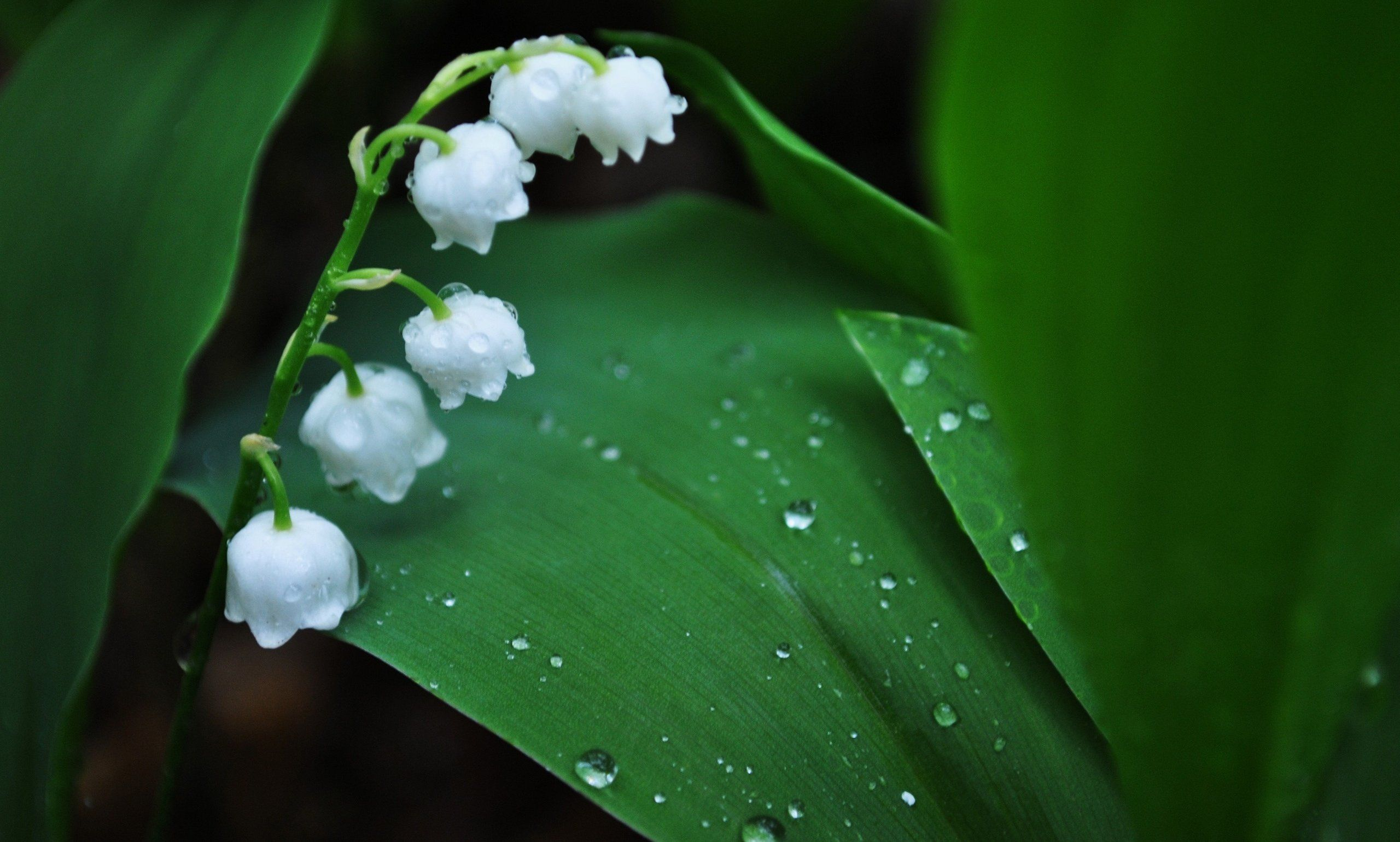 Lily Of The Valley Wallpaper Lily Of The Valley Flowers Valley