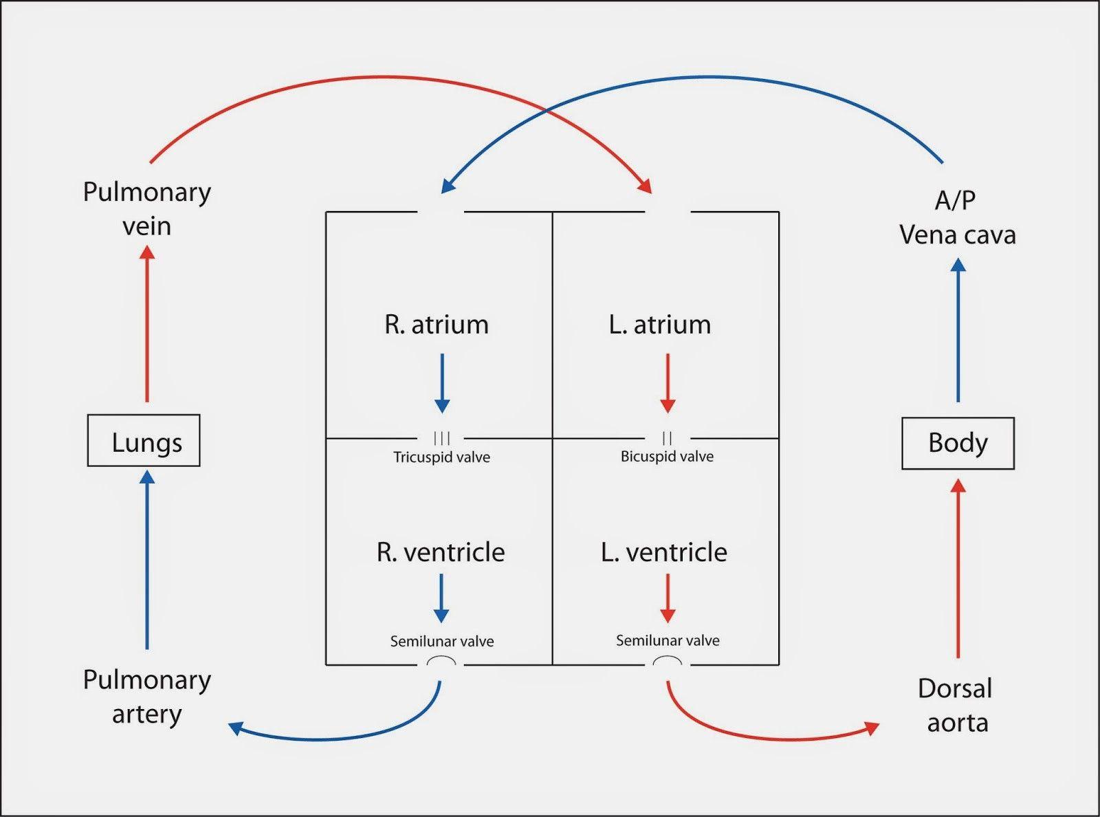 medium resolution of heart blood flow diagrams diagram link