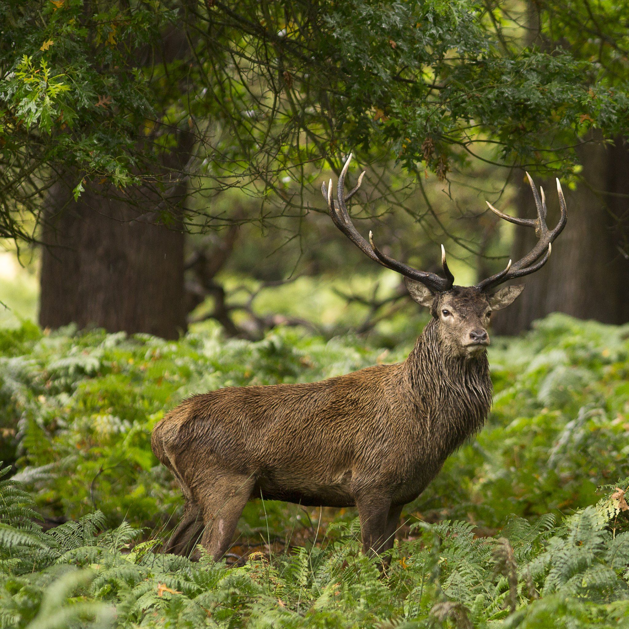 Forest. Wild Animal. Stag Wallpapers · 4K HD Desktop Phone