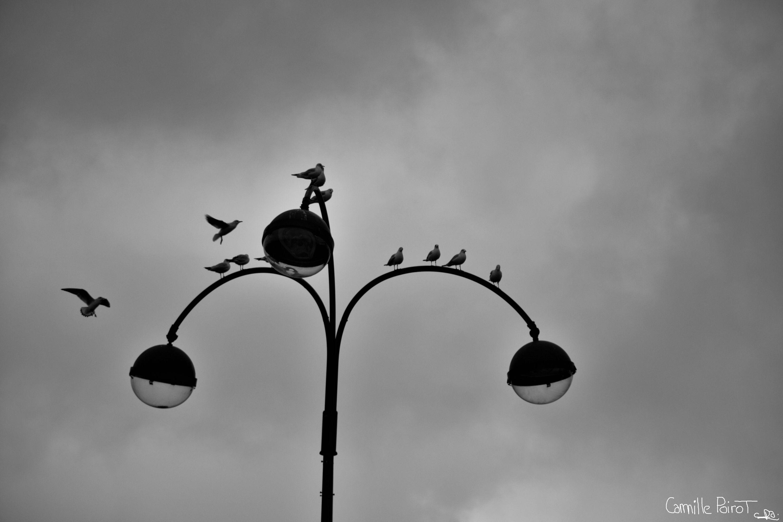 """Mouette in Paris"", photo by Camille Poirot, seagulls (Mouettes rieuses, Paris, France)"