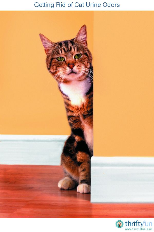 Getting Rid Of Cat Urine Odors Cleaning Anything Cat