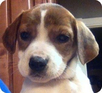 Boston Ma Catahoula Leopard Dog Beagle Mix Meet Clair A Puppy