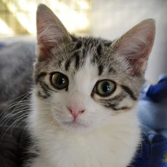 Adopt A Pet Baby Cats Cat Adoption Cute Animals