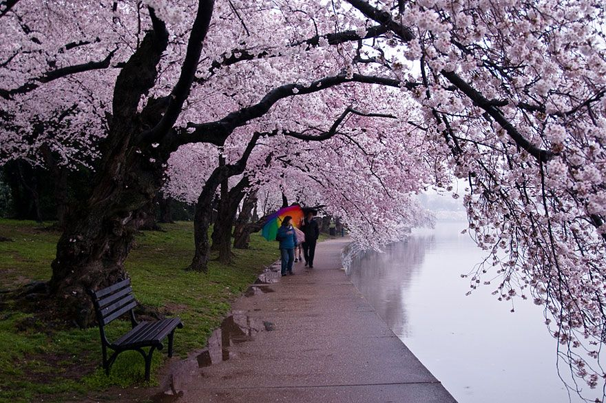 The Most Beautiful Cherry Blossoms Around The World Japanese Cherry Tree Around The Worlds Beautiful Tree