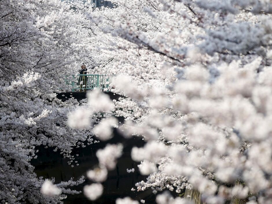 The Blossoms Which Were In Full Bloom In Tokyo On Monday Began To Come Out In The Japanese Capital Around Earth Pictures Cherry Blossom Pictures Of The Week