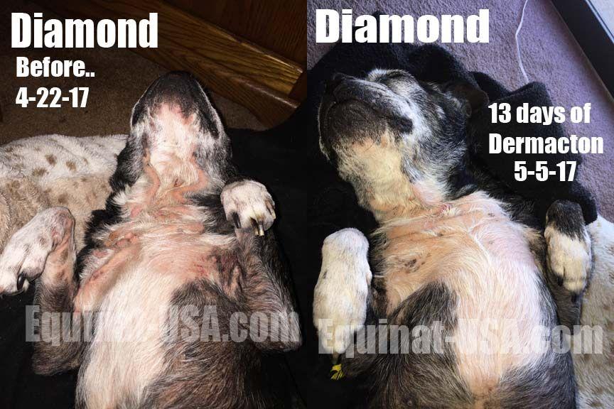 Dogs Life Long Skin Allergies Boston Terrier Dog Life Boston