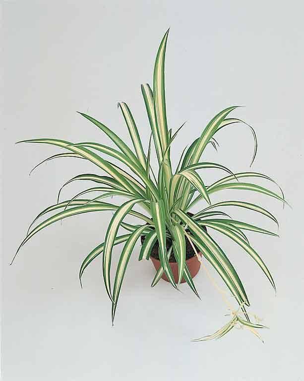 Plantas colgantes para interior jarfineria plantas - Plantas colgantes interior ...