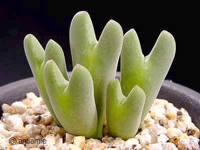 Conophytum incurvum インクルブム