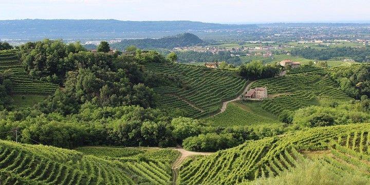 Vineyards, Veneto, northern Italy, Italy, Europe