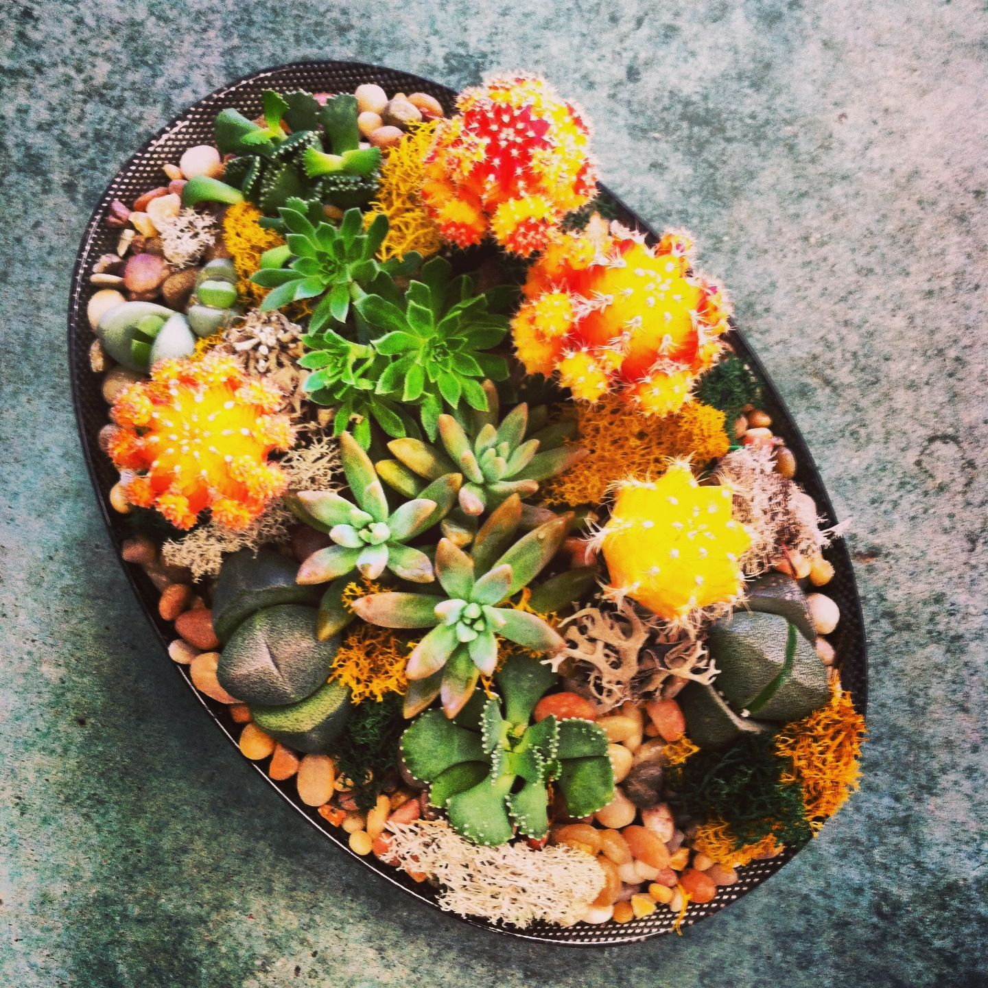succulents and moon cacti dish garden