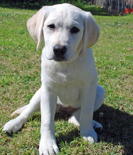 Via The Daily Puppy Puppy Breed Labrador Retriever My Name Is Willow I Live With My Litter Sister Daisy On The Gold C Labrador Retriever Labrador Retriever