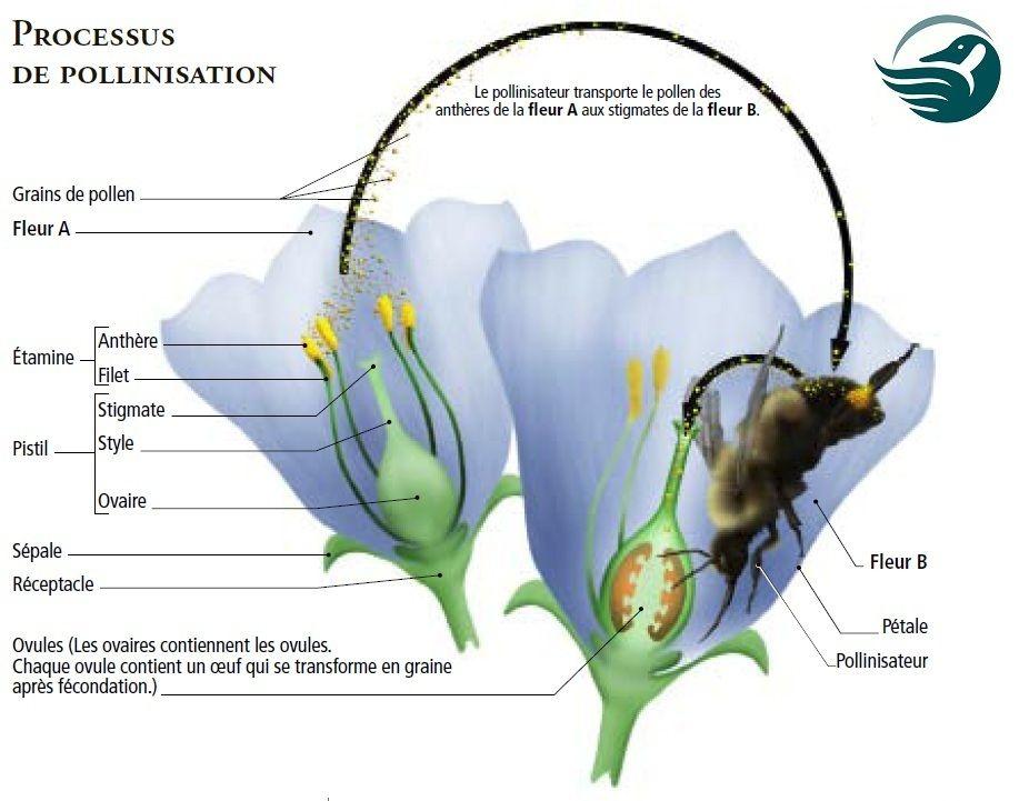 Federation Canadienne De La Faune L Abc De La Pollinisation Pflanzen Katzen Hunde