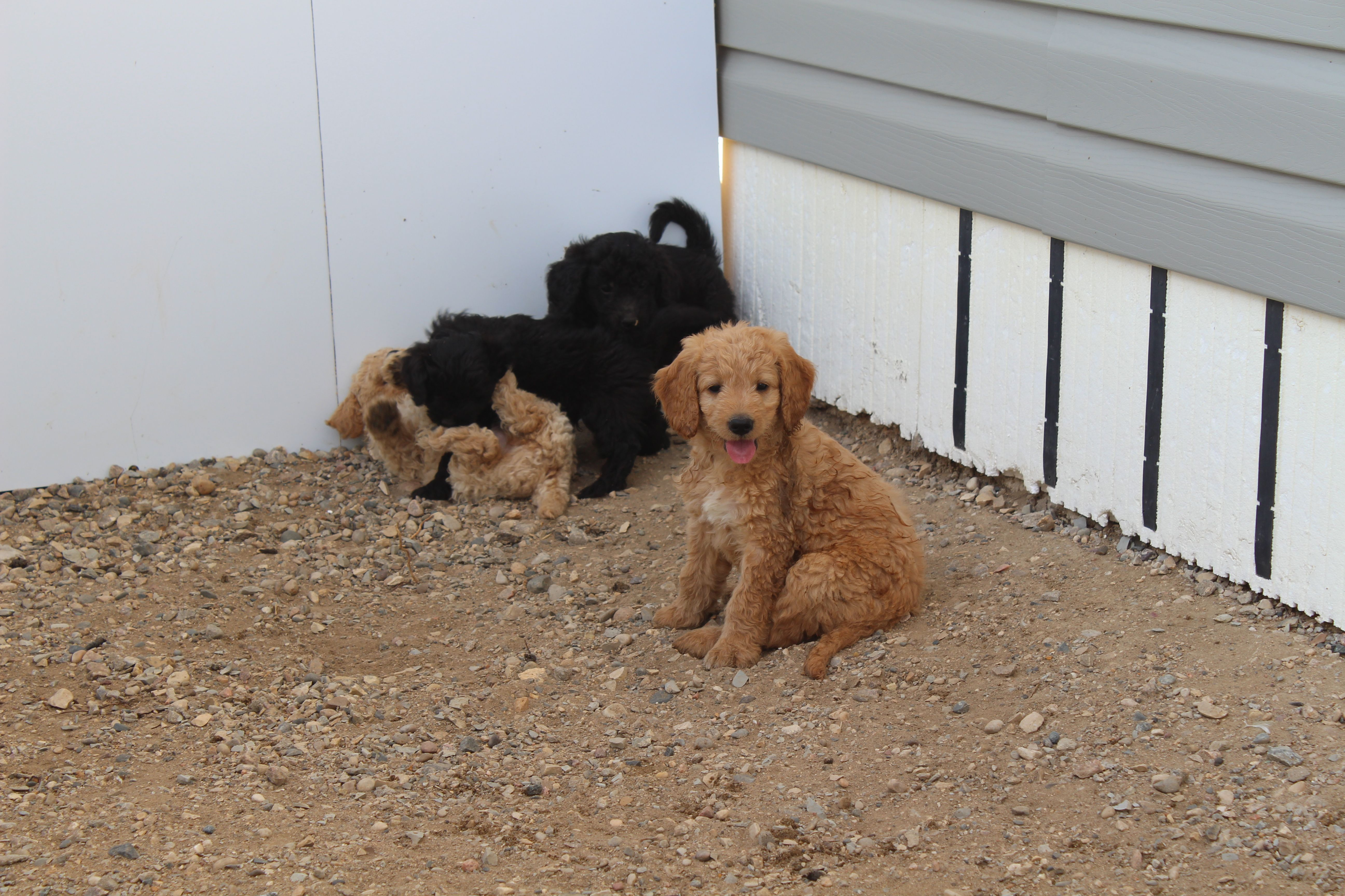 F1b mini goldendoodle puppy dusty goldendoodle puppy