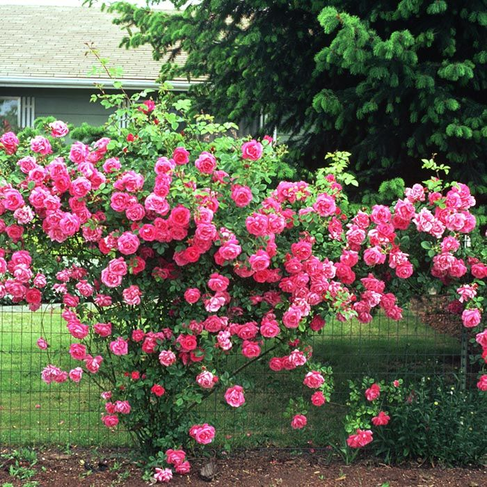 Pruning Roses For Health And Beauty Pruning Roses Types Of Rose Bushes Rosebush