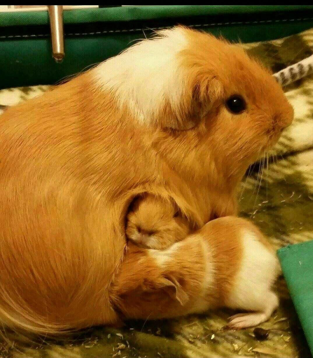 Chillin with papa guineapigs baby pig fat fat pinterest baby