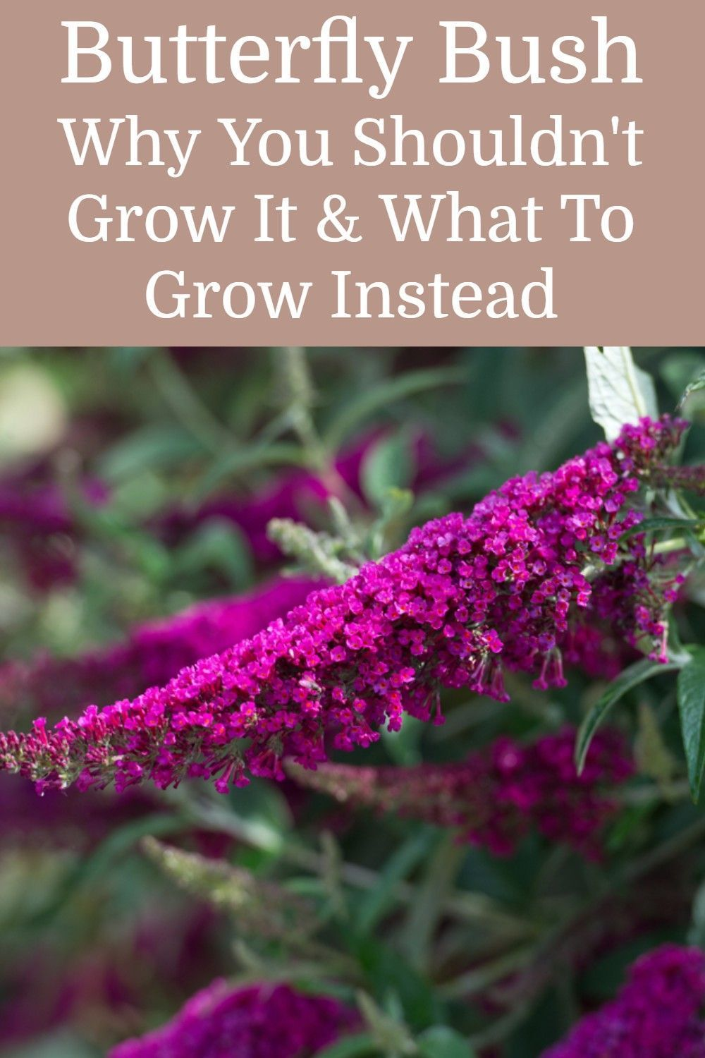 Butterfly Bush Why You Shouldn T Grow It What To Grow Instead In 2020 Butterfly Bush Grow Butterflies Flowers Perennials