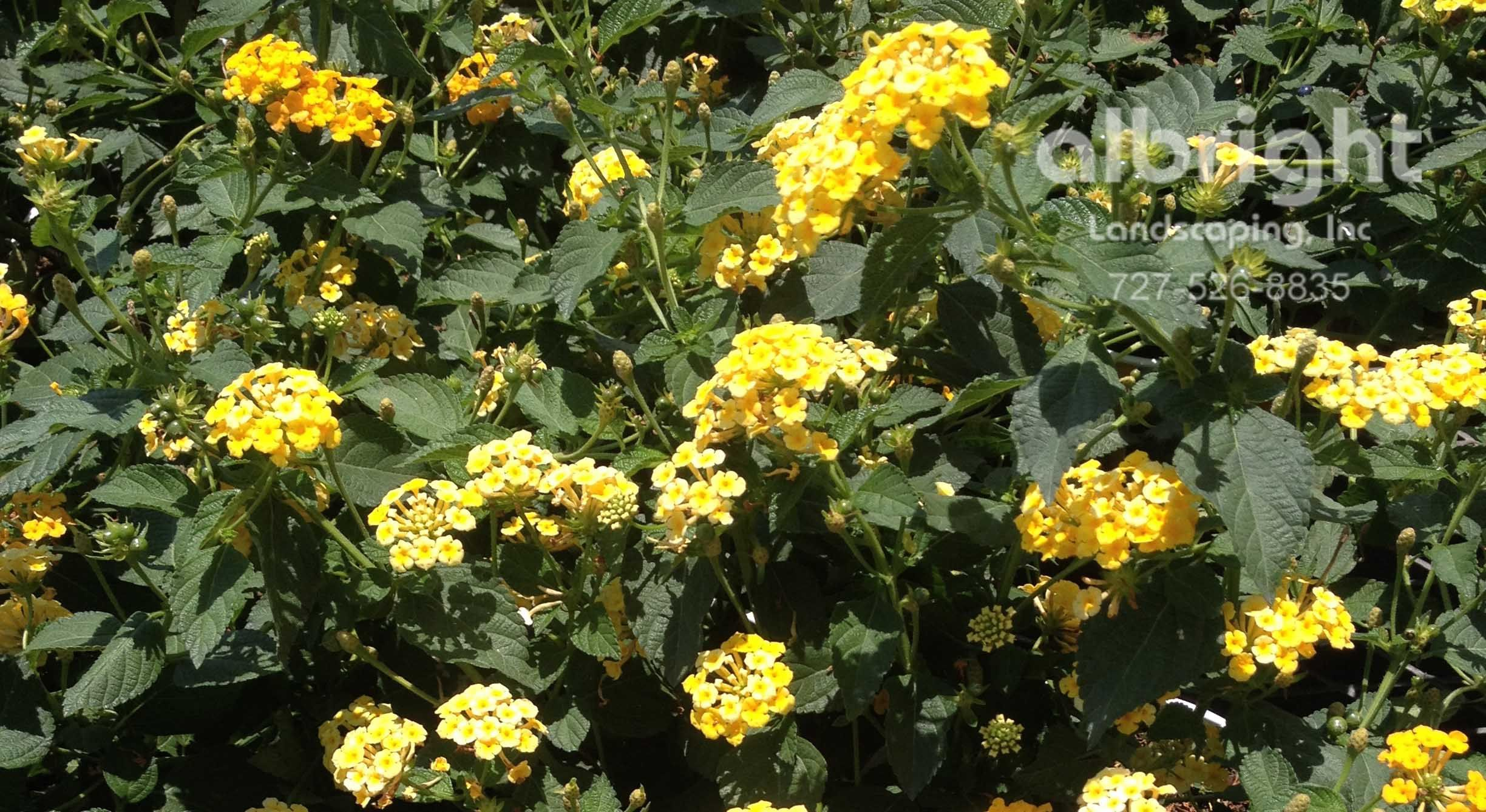 Lantana a hardy ground cover in mostly sunny locations with lots