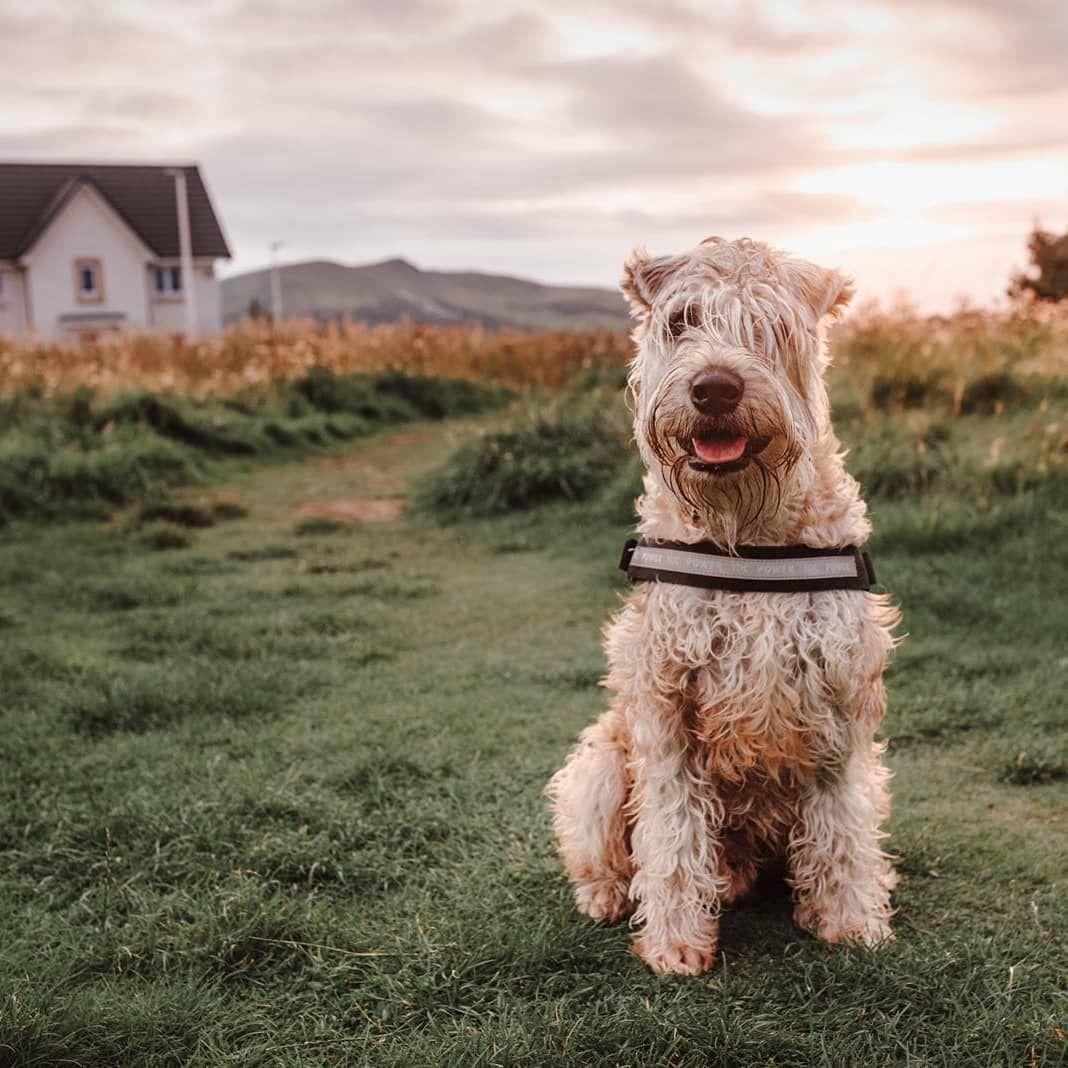 """Steve on Instagram: """"Hey there handsome! 😘 . . . . . . . #dogsofinstagram #dogoftheday#dog#puppiesofinstagram#puppy#dogstagram #wheatenterrier #wheatenpuppy…"""""""
