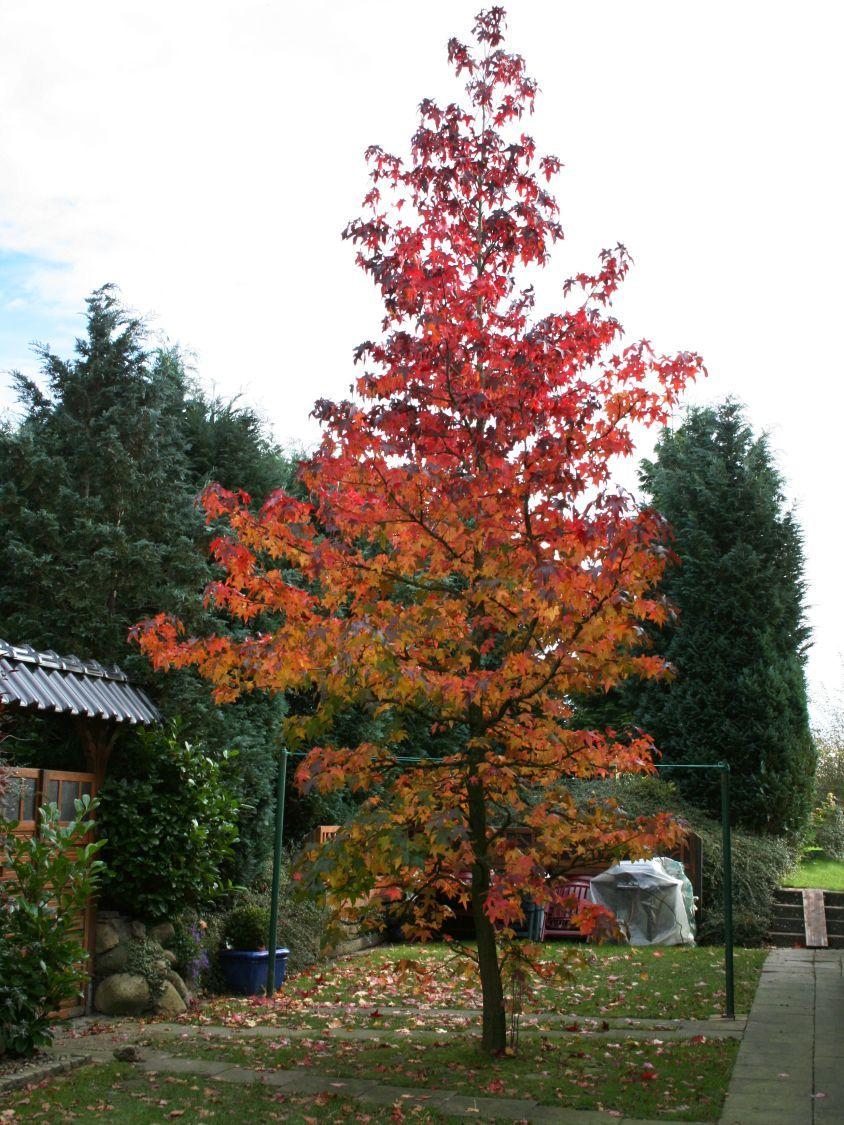Amberbaum 39 oktoberglut 39 liquidambar styraciflua - Lebkuchenbaum kaufen ...