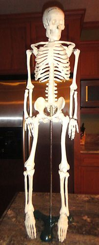 "Educational Human Skeletal Frame Learn about Human Bones 30"" H w/ Stand"