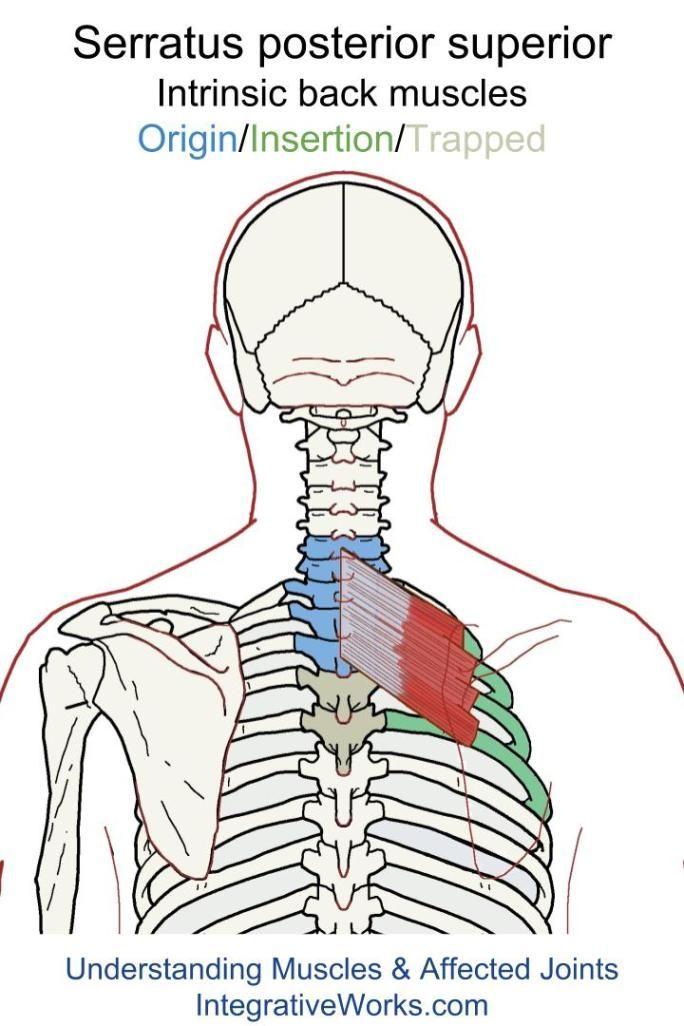 Serratus Posterior Superior Functional Anatomy Back Intrinsic