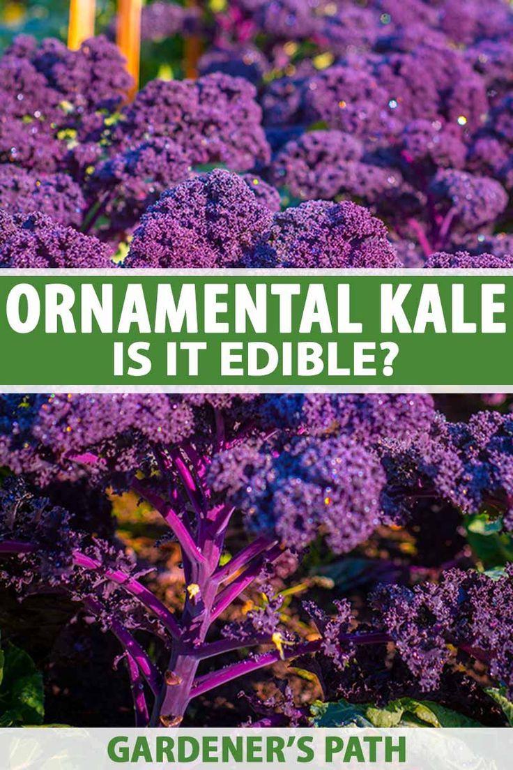 Can You Eat Ornamental Kale? #wintergardening
