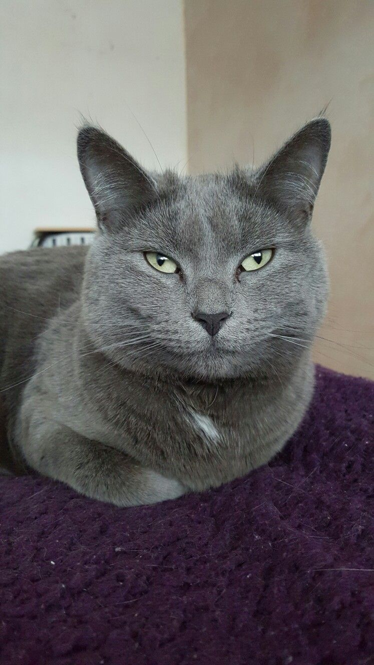 Such An Adorable Gray Cat Grey Cats Russian Blue Cats