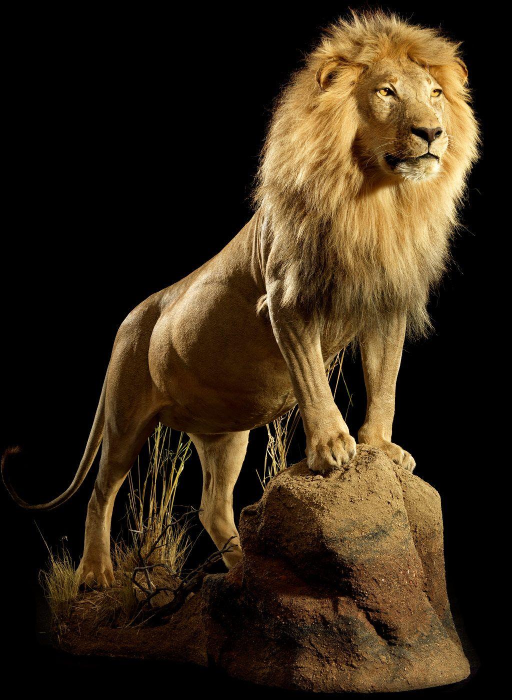 картинка сидящий лев для образования