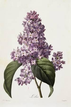 Lilacs By Pierre Joseph Redoute Photographic Print Fine Art Photographic Allposters Com Botanical Illustration Vintage Botanical Painting Botanical Drawings