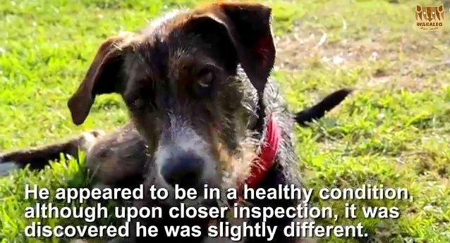 Australian Dog Born With Disability Needs A Home With Images Dogs Foster Home Canine