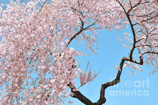 Cherry Blossom Trilogy I By Regina Geoghan Cherry Blossom Cherry Blossom Images Blossom