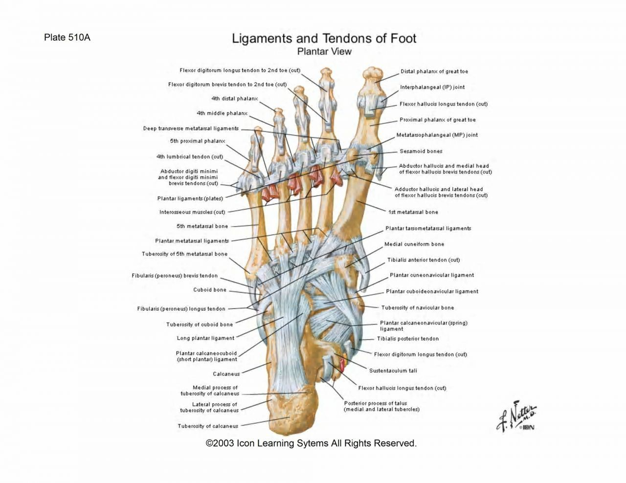 Ligaments Of The Foot - See more about Ligaments Of The Foot ...