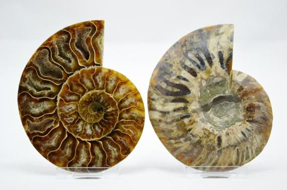 e3911x Dinosaur Fossil Pair Ammonite Multi-Color Crystals Large 3.9 110-Myo 99mm #dinosaurfossils