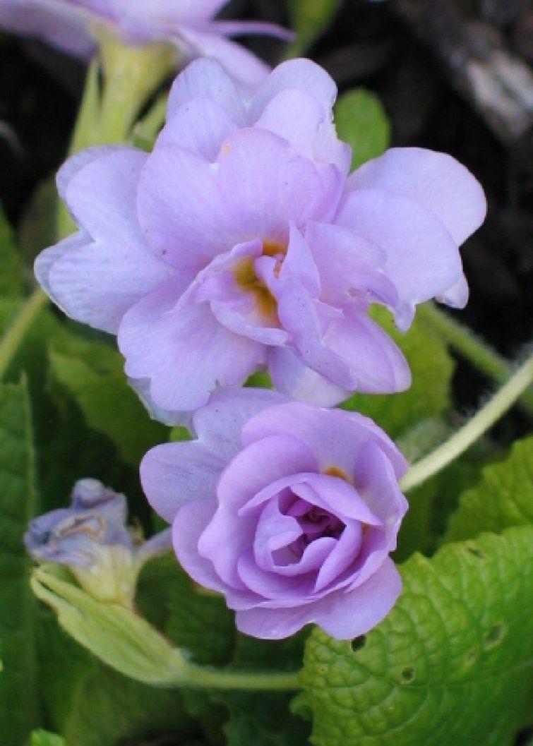 Primrose Perennial Partial Shade Zones 3 9 Primroses Flowers Perennials